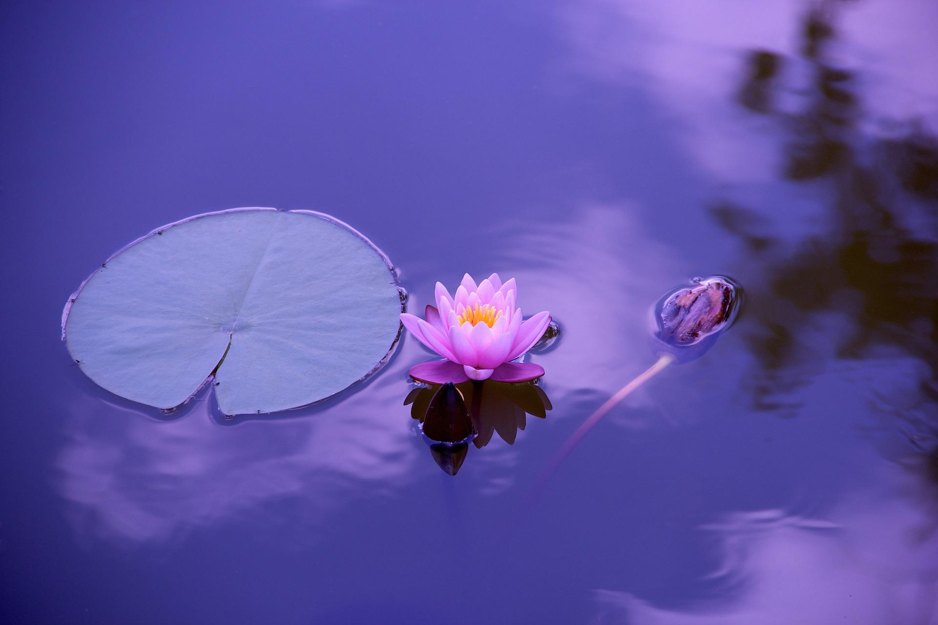 lotus-1205631_1920 (1)